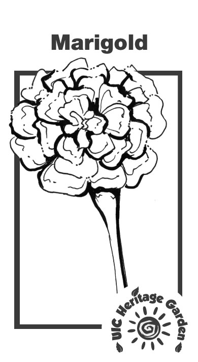 Marigold Illustration