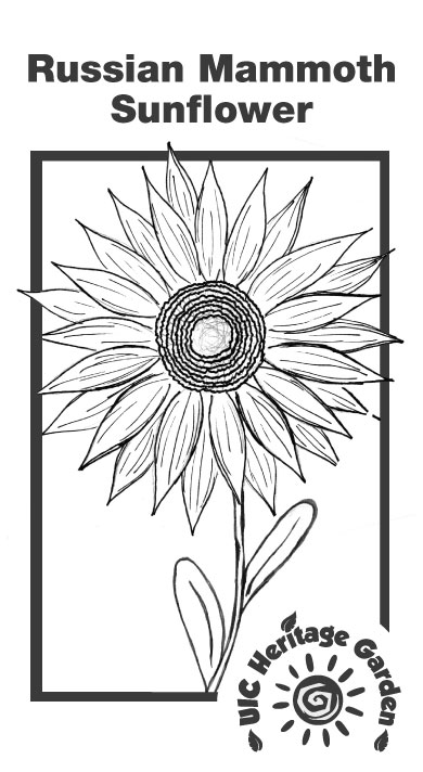Russian Mammoth Sunflower Illustration