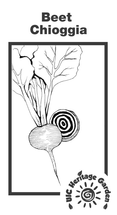 Beet Chioggia Illustration