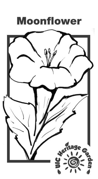 Moonflower Illustration