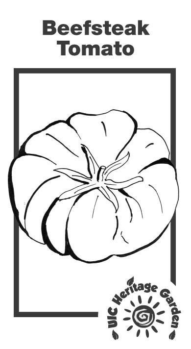 Beefsteak Tomato Illustration