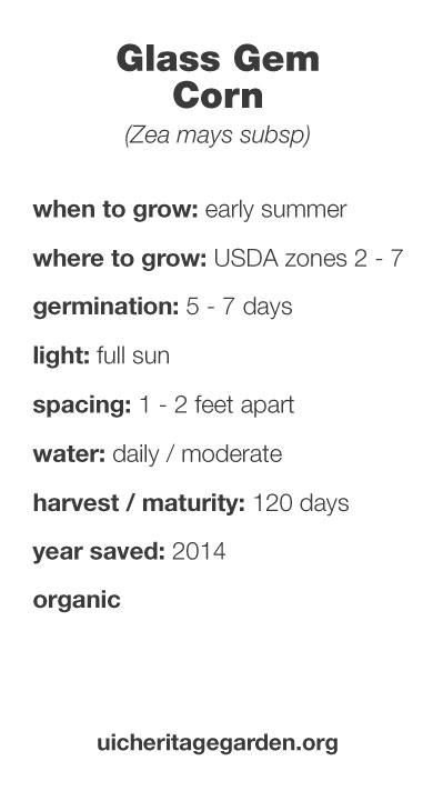 Glass Gem Corn growing information