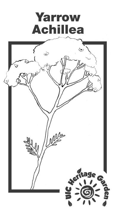 Yarrow Achillea Illustration
