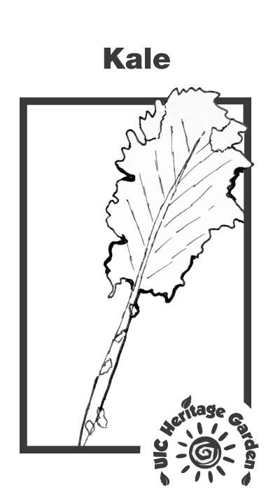 Kale Illustration
