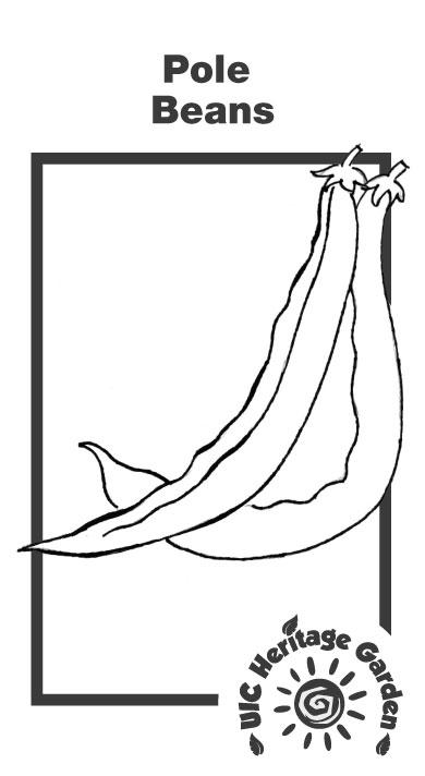 Pole Beans Illustration
