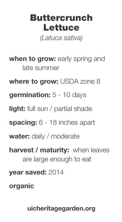 Buttercrunch Lettuce growing information