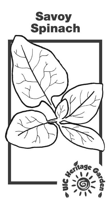 Savoy Spinach Illustration