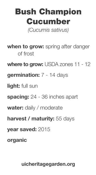 Bush Champion Cucumber growing information
