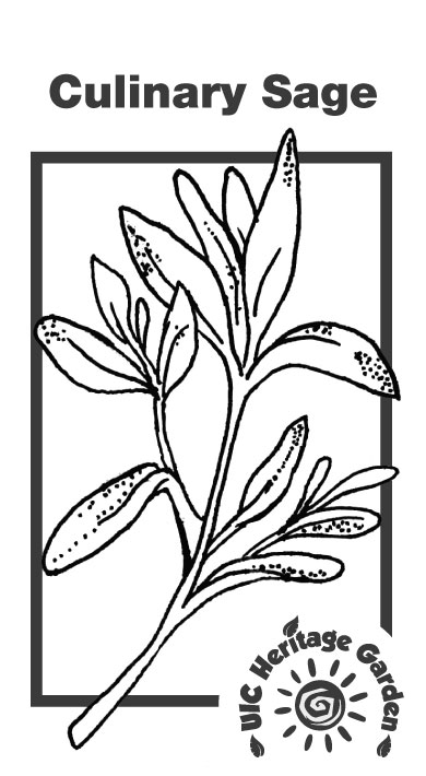Culinary Sage Illustration