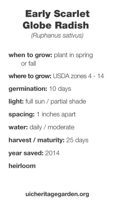 Early Scarlet Globe Radish growing information