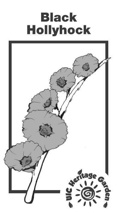 Black Hollyhock Illustration