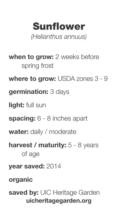 Sunflower growing information