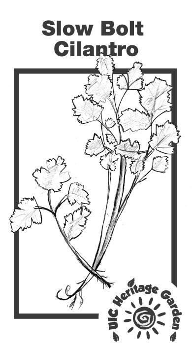 Slow Bolt Cilantro Illustration