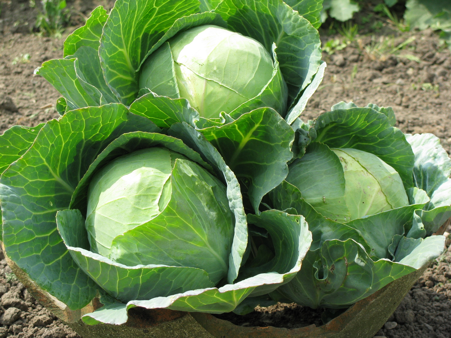 Image result for Cabbages