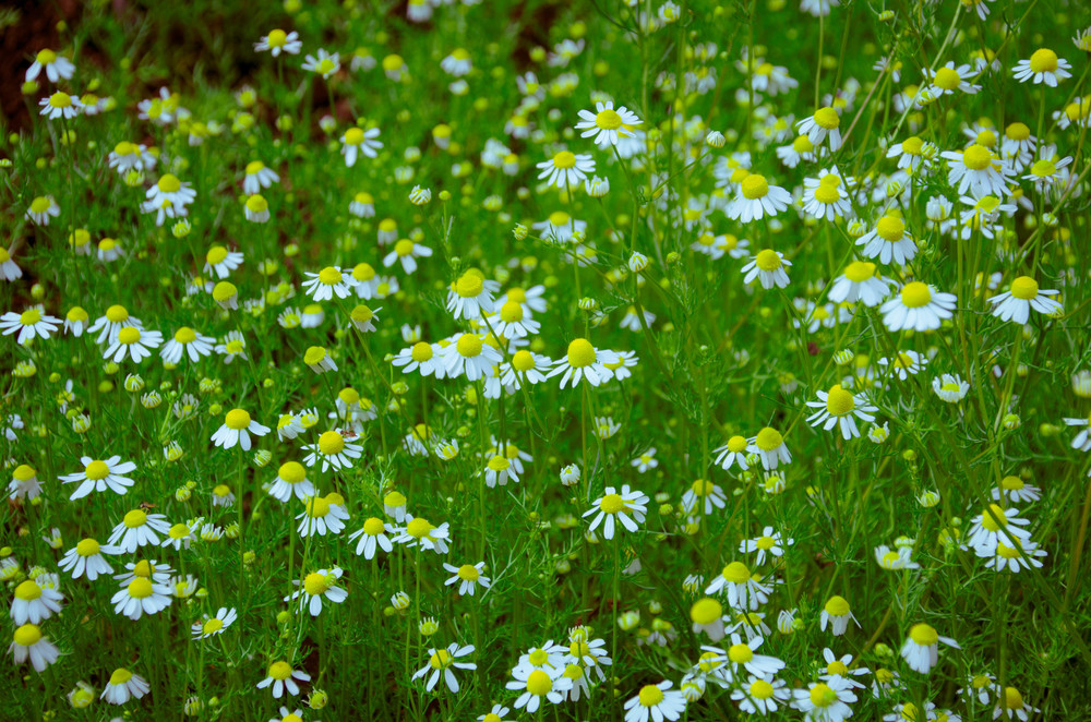 Roman(English) chamomile