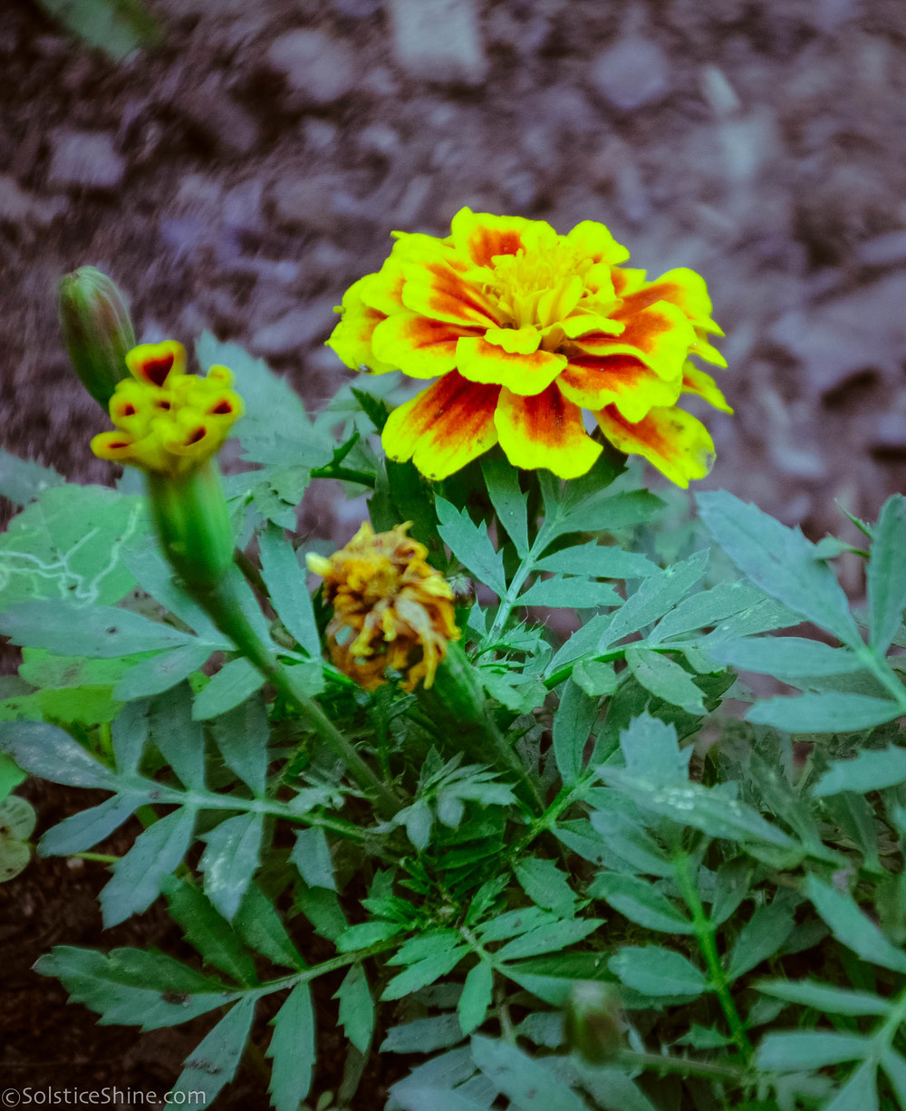 Marigold. Cultivation from seeds, from seedlings, useful properties of marigolds