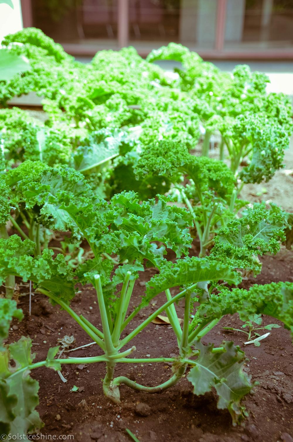 Curly leaf kale