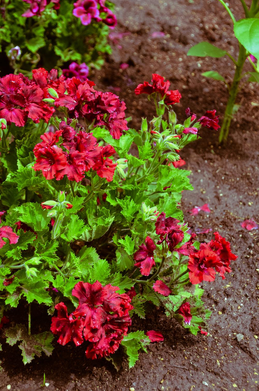 American bright red gerium
