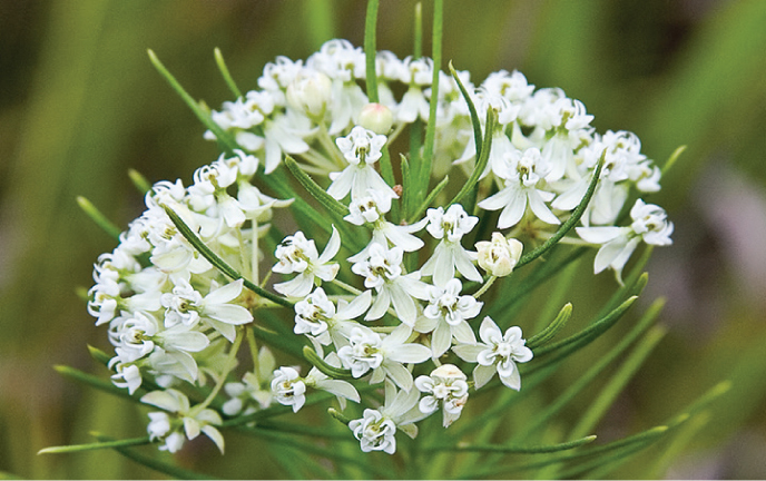 Whorled Milkweed (Asclepias verticillata)