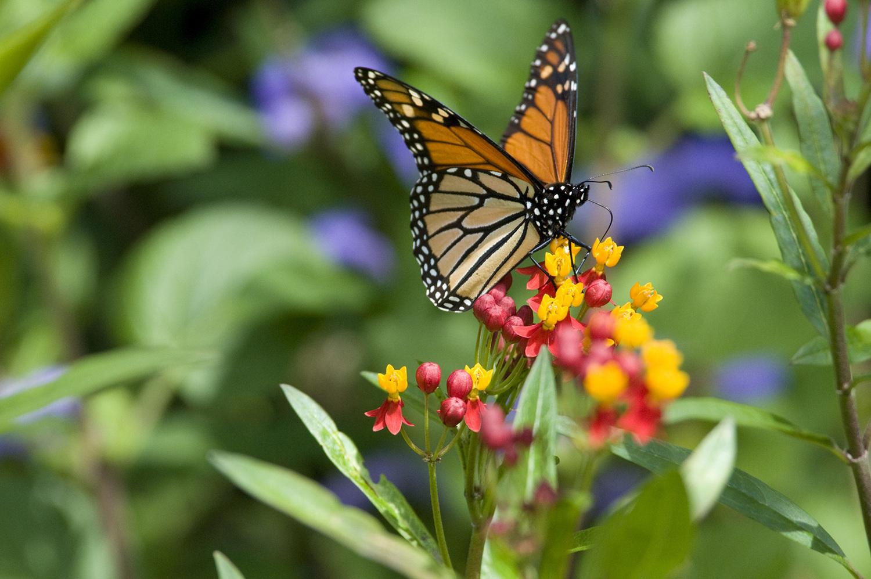 Monarch butterfly habitat heritage garden monarch butterfly habitat buycottarizona