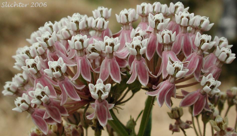 Narrowleaf Milkweed (Asclepias fascicularis)