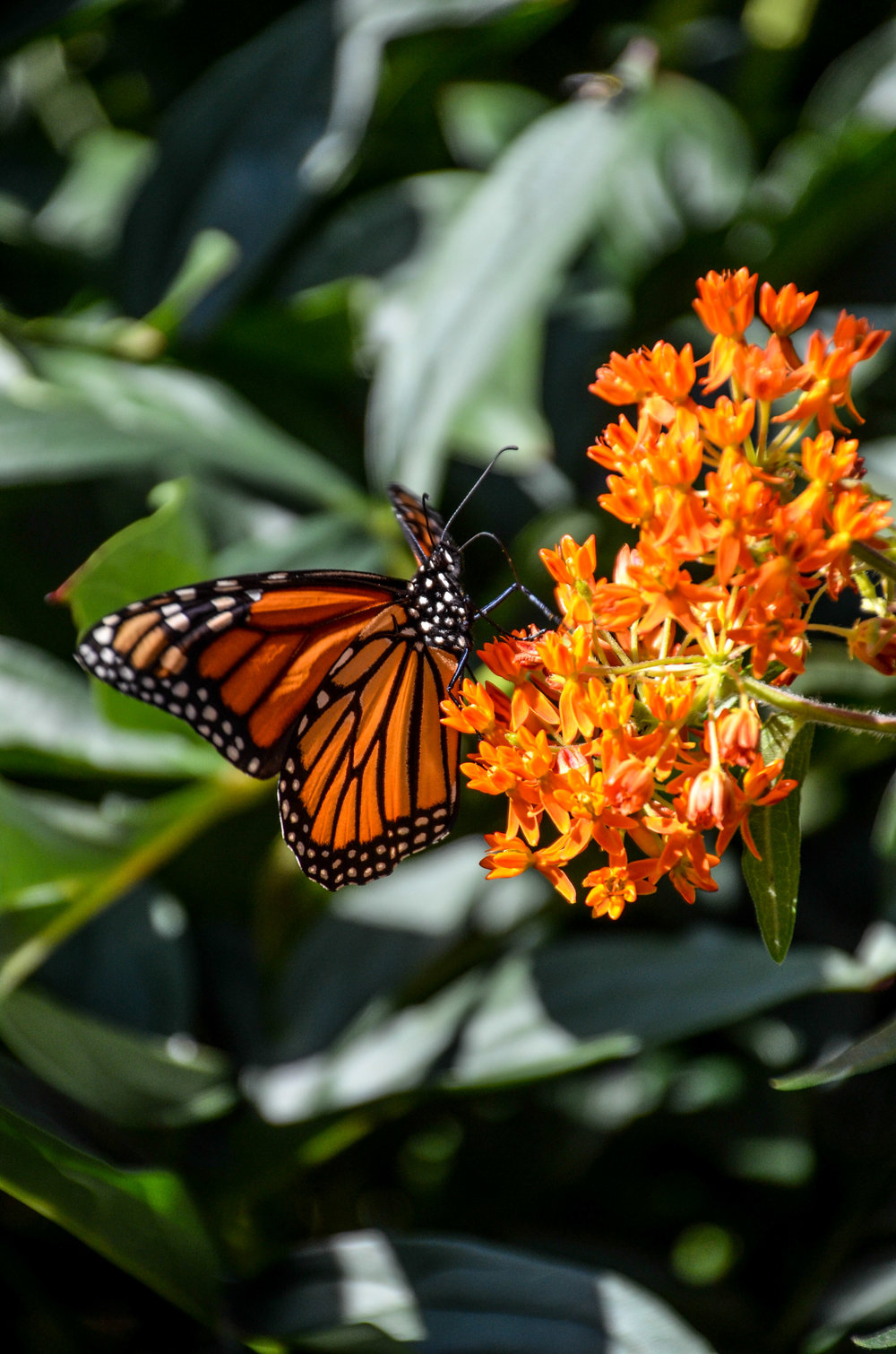 Monarch standing on butterfly weed
