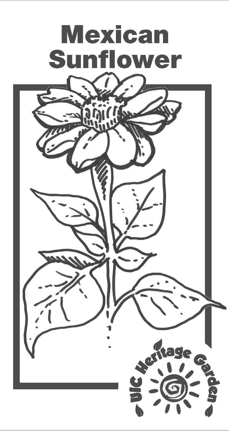 Mexican Sunflower Illustration