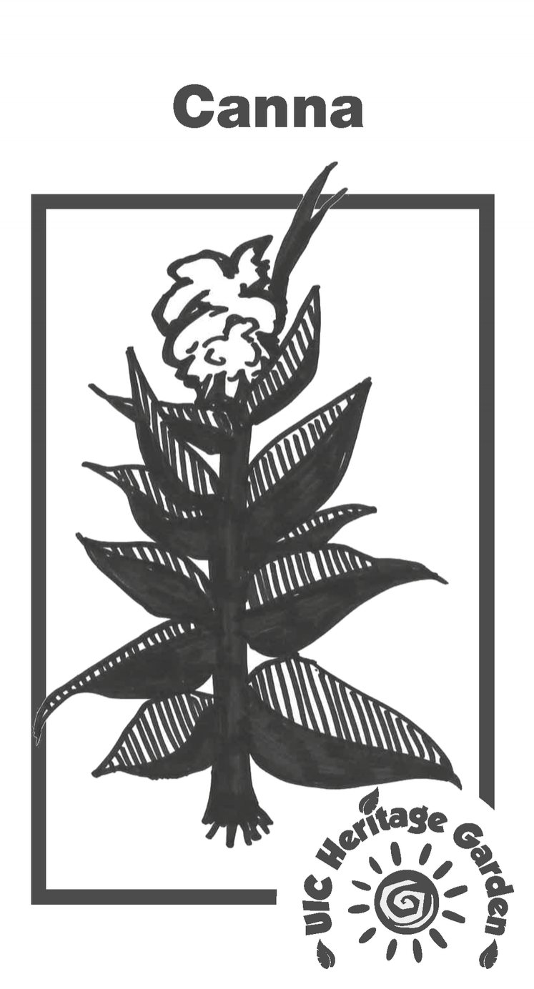 Canna Illustration