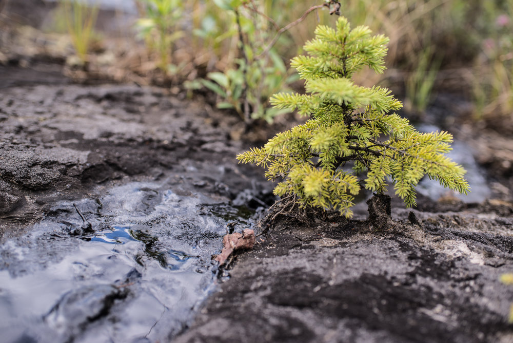 A sapling growing in the tar at Bitumount, July 2017.