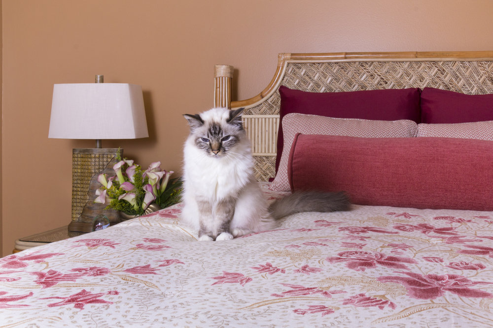 The family cat is protective of her new favorite spot on the new custom linen bedding of this coastal guest suite.