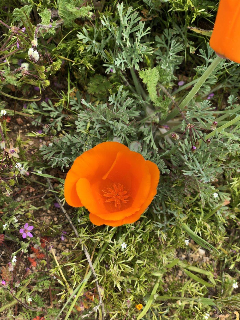 Close up of a wild poppy.