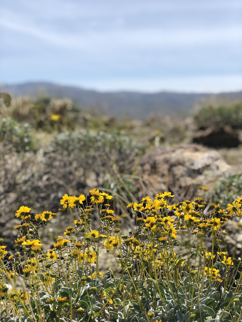 Flowers blooming in the Anza-Borrego Desert State Park