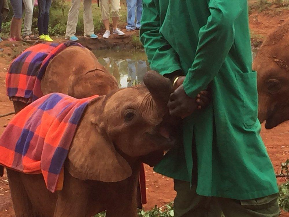 A baby elephant at the David Sheldrick Elephant Orphanage