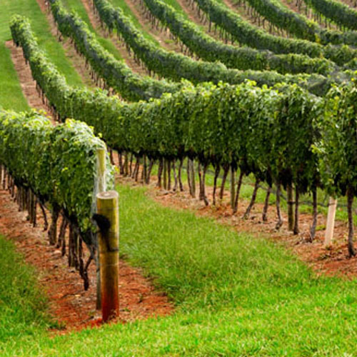 grape vines website.jpg