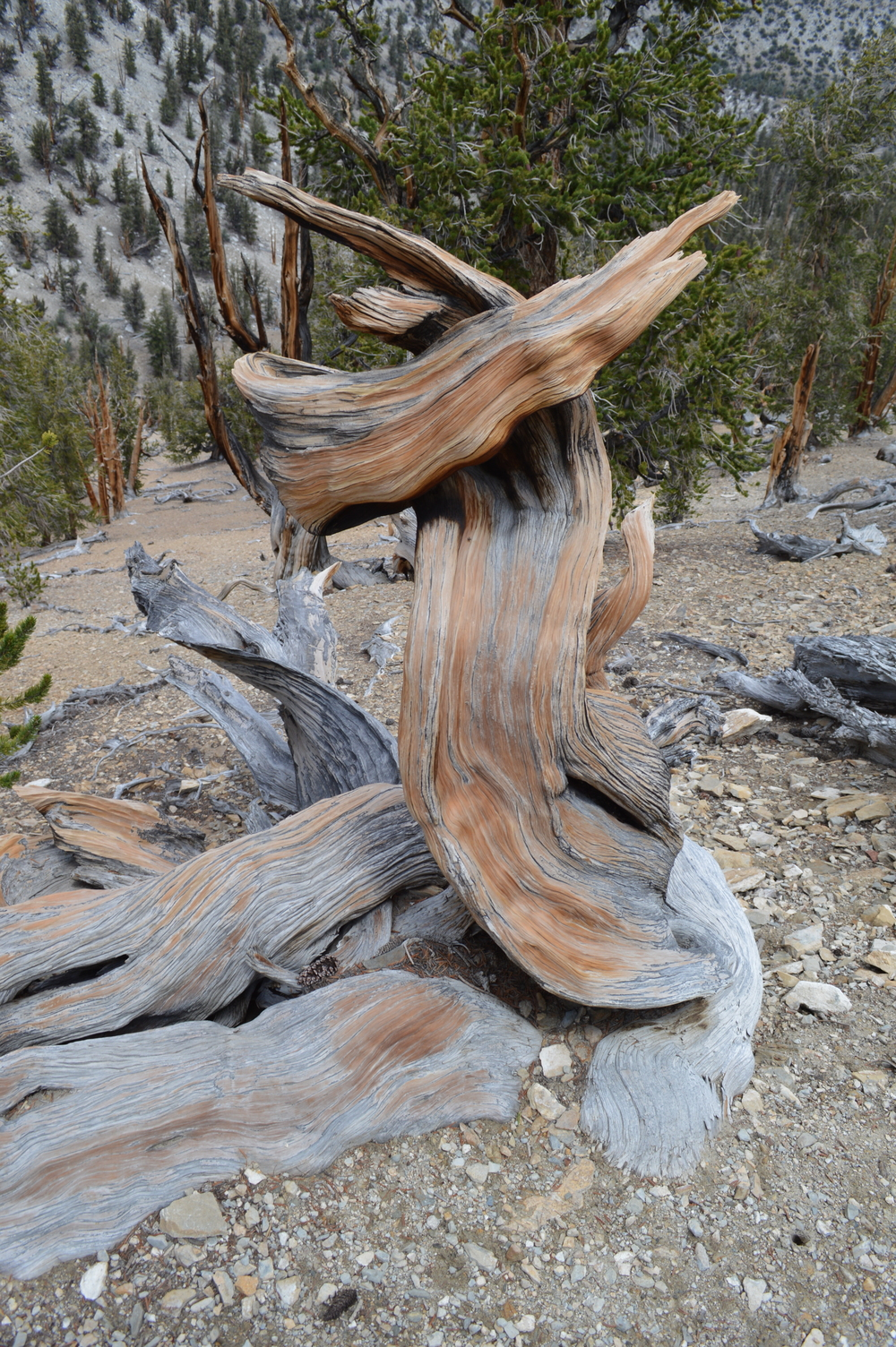 Dead snag on the Methuselah Trail