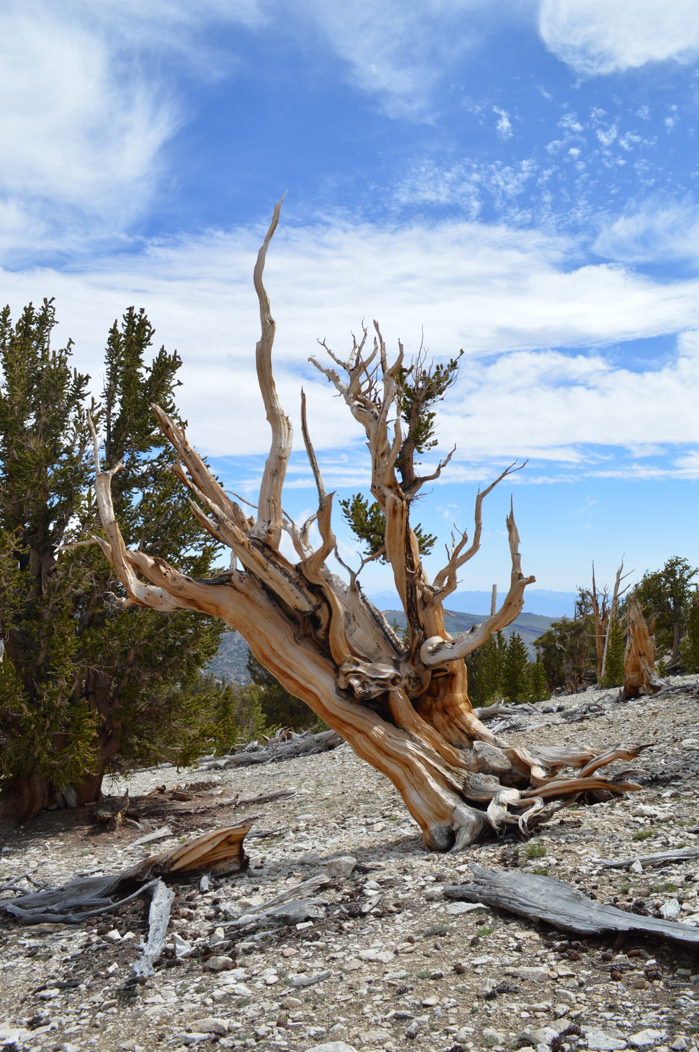 Clinging to the mountain.  Ancient Bristlecone at Patriarch Grove