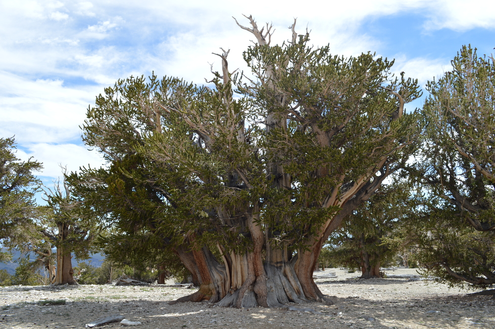 The famed Patriarch tree.  At only 1500yrs, it has the largest mass of all living bristlecones.
