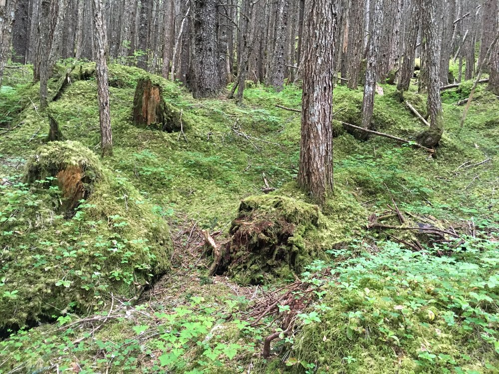 120 year old stumps - Sheep Camp area - rain forest. Here, stampeeders clear cut for winter warmth. Sheep Camp is the last campspot below the timberline. It is estimated that 6-8,000 people occupied Sheep Camp during the height of the rush.
