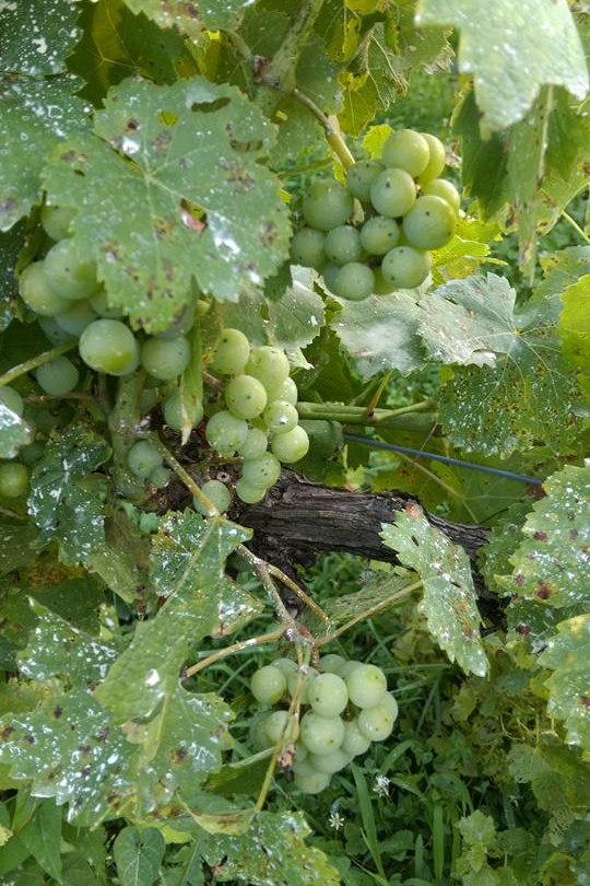 Wine, growing on the vine.