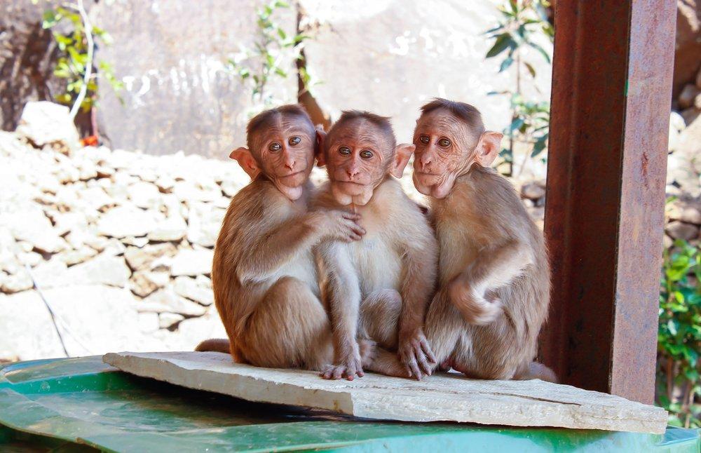 ¿Son estos monos inocentes?