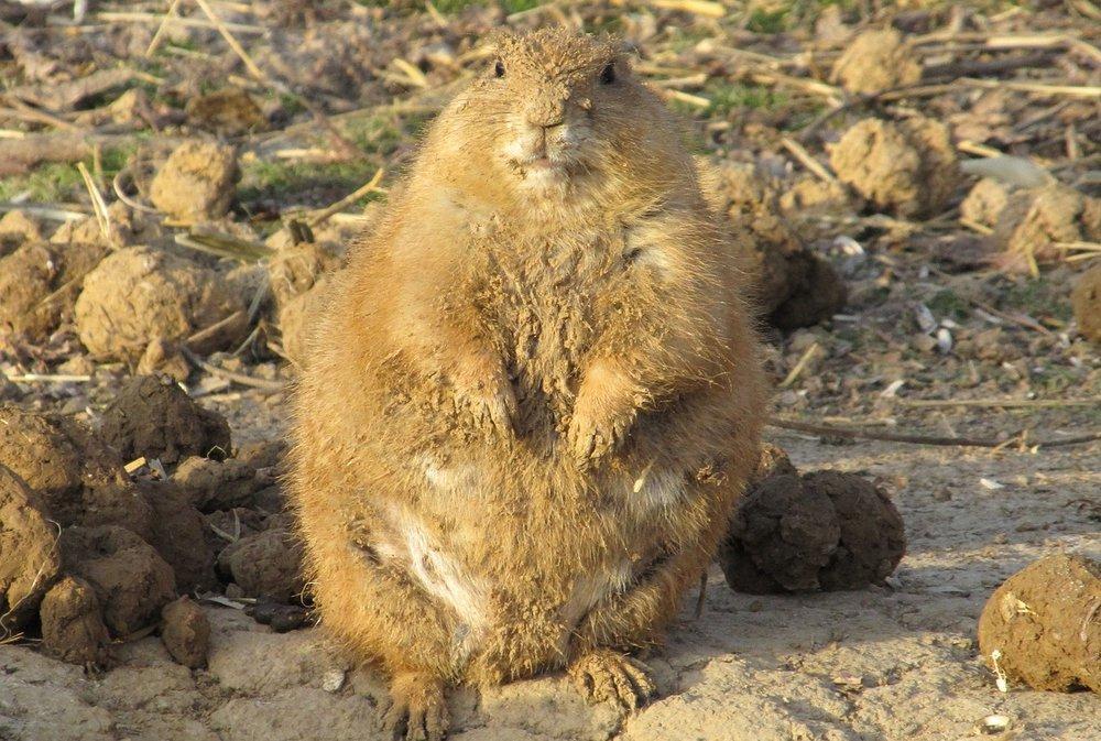 Esta marmota americana es muy gorda, pero no hay que preocuparse. Está a dieta.