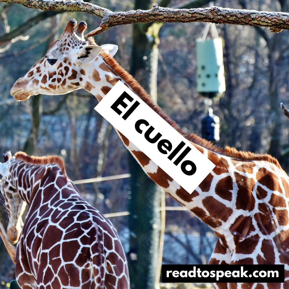 Read to Speak Spanish - el cuello.PNG