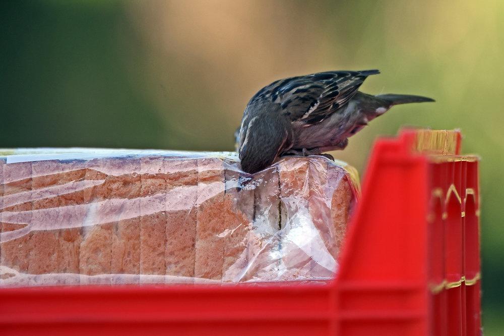 Este pájaro no es un ladrón de arte sino de pan.