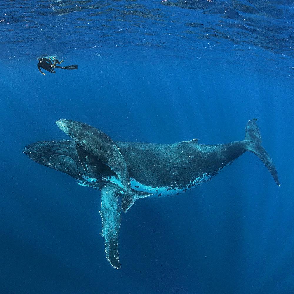 tonga-bucket-list-whales.jpg