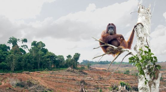 An orangutan clings to the only remaining palm tree in a forest depleted by the palm oil industry. Orangutans, who are displaced, orphaned, kidnapped and killed by the palm oil industry, have become a symbol of the destructive effects of palm oil. (photo: Biosprit-subventionen)