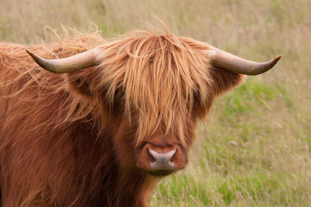 highland cow UTTS.jpeg