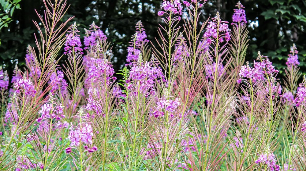 Fireweed/Willowherbs