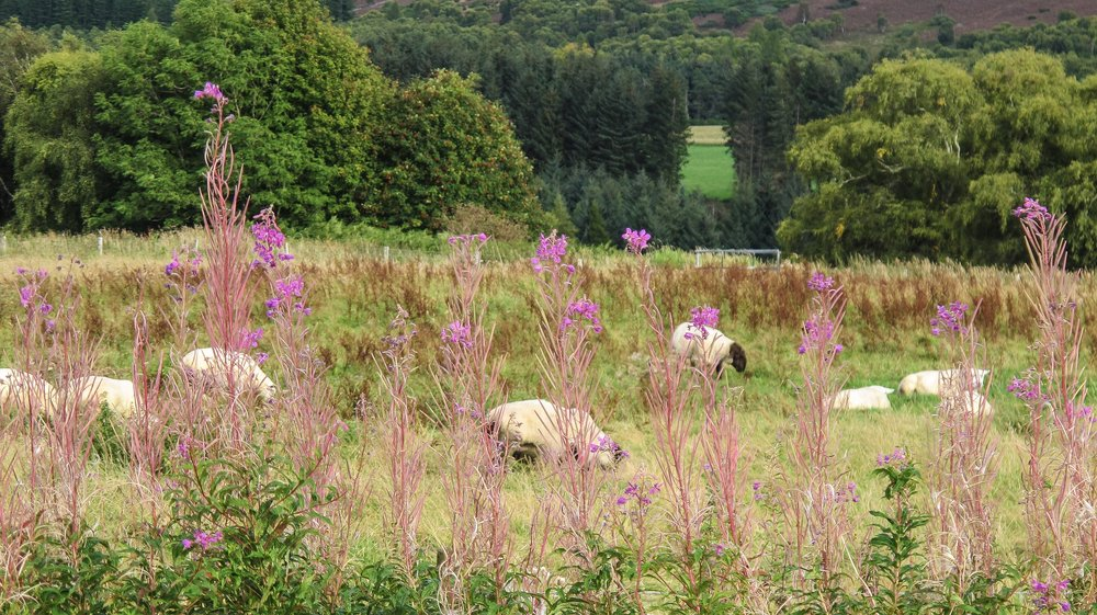 Sheep grazing/fireweed near Culloden