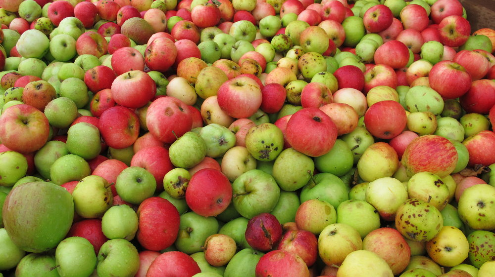 Apples waiting at Thistly Cross Cider