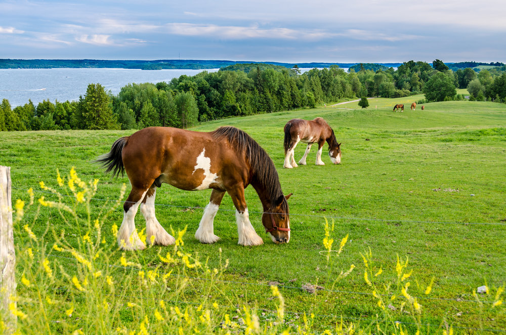 The Clydesdale is a Scottish breed of draught horse named for their home region of Clydesdale in SW Scotland, now known as Lanarkshire. To many, especially Americans, the Budweiser Clydesdales are the most popular example of these great horses that once pulled barges along Scotland's canals. Stock photo.